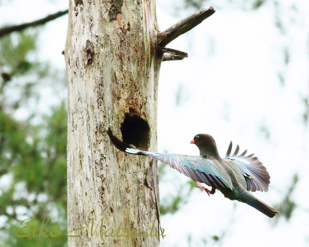 朽木野鳥を守る会 ブッポウソウ