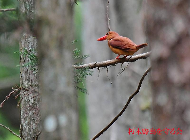 アカショウビン朽木野鳥を守る会