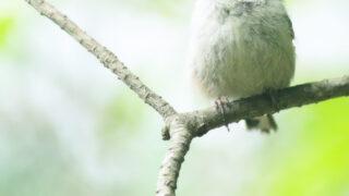 エナガ 朽木野鳥を守る会