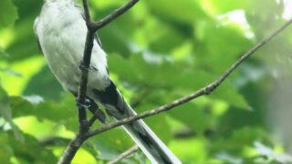 サンショウクイ幼鳥